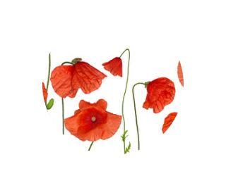 groop of wild red poppy flowers on white