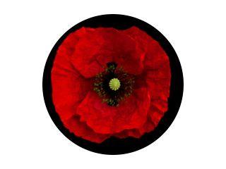 poppy flower on a black background