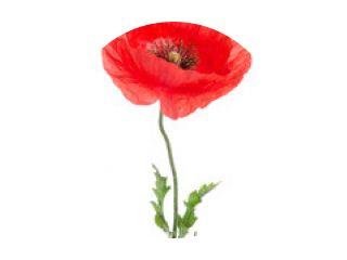 single red poppy