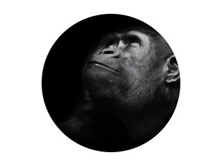 Serious big monkey look. An adult female gorilla with a serious expression smiles sideways, close-up, Isolated black background