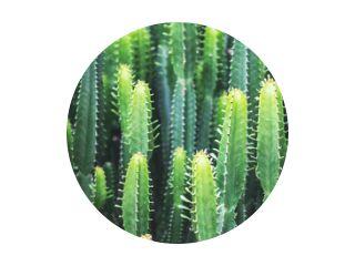 Closeup image of euphorbia ingens cactus