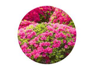 ピンクと赤のツツジの花