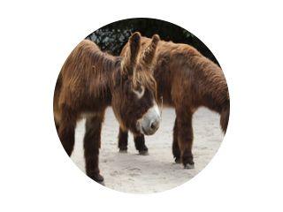 Poitou donkey (Equus asinus asinus)