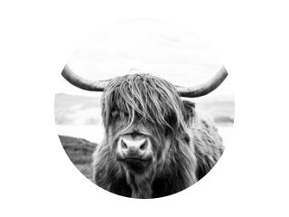 Highland cattle scottish cow